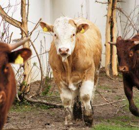Rinder 3
